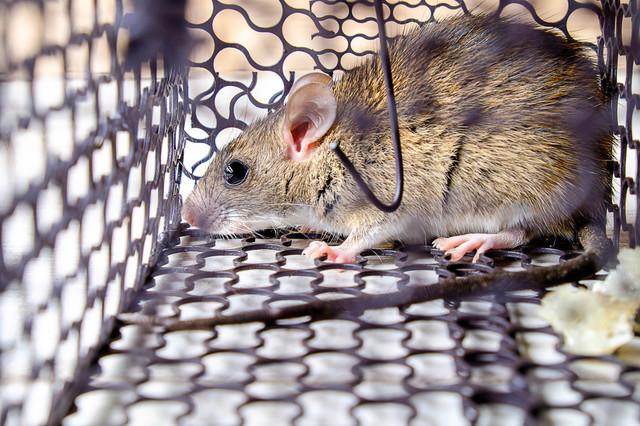 京都府の害獣(イタチ・ネズミ・ハクビシン)駆除や侵入防止施策の事例について
